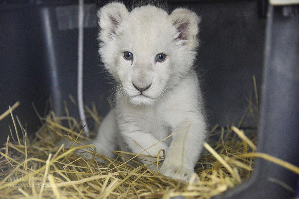 2020.3.8 東北サファリパーク☆ホワイトライオンのいっきゅう君【White lion baby】_f0250322_2314282.jpg