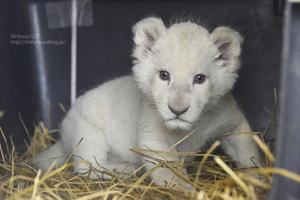 2020.3.8 東北サファリパーク☆ホワイトライオンのいっきゅう君【White lion baby】_f0250322_2314791.jpg
