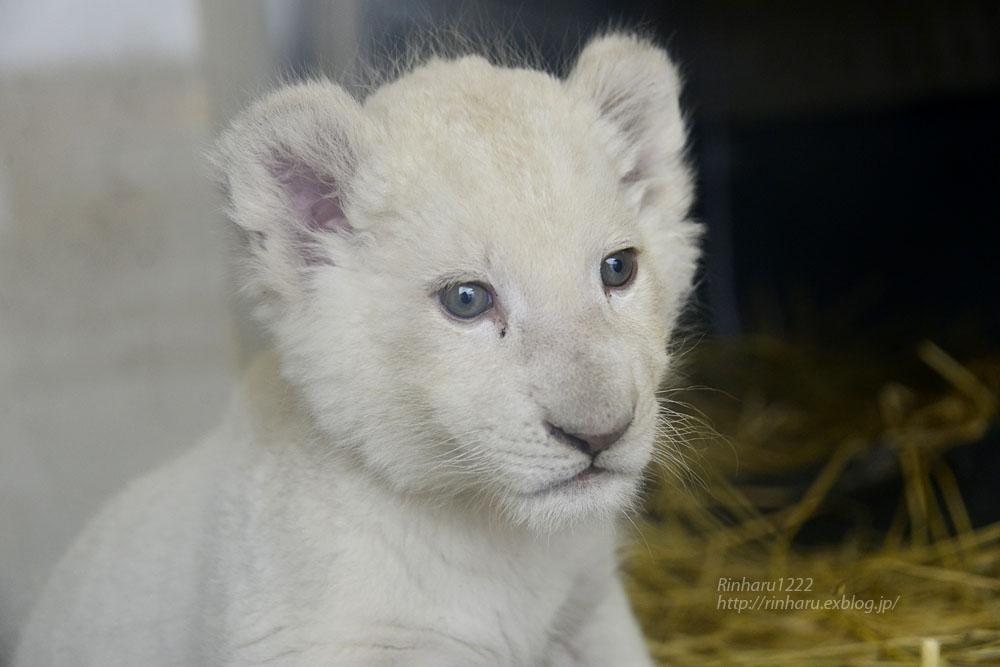 2020.3.8 東北サファリパーク☆ホワイトライオンのいっきゅう君【White lion baby】_f0250322_231495.jpg