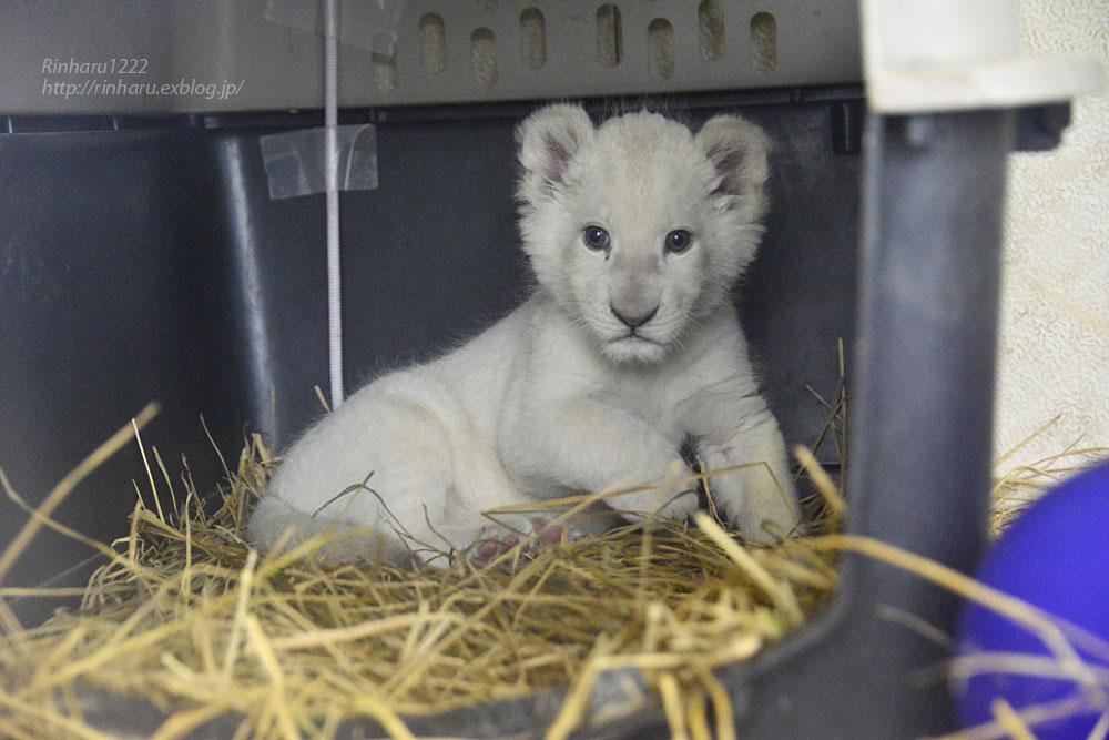 2020.3.8 東北サファリパーク☆ホワイトライオンのいっきゅう君【White lion baby】_f0250322_2315556.jpg