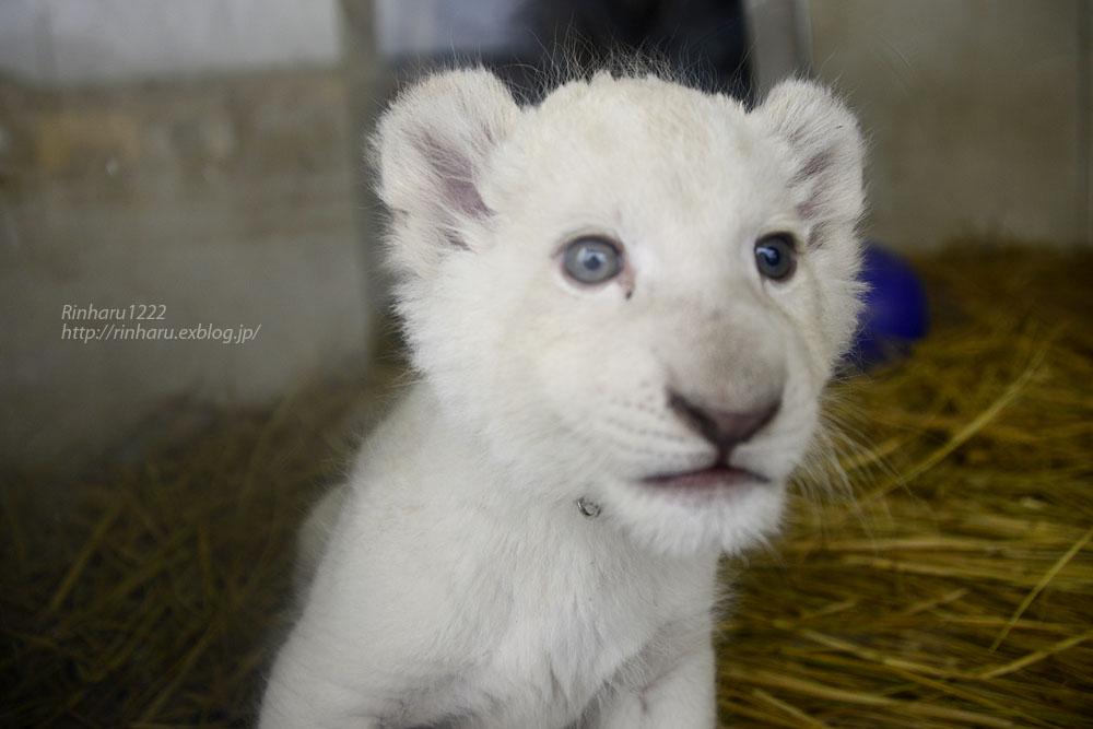 2020.3.8 東北サファリパーク☆ホワイトライオンのいっきゅう君【White lion baby】_f0250322_232128.jpg