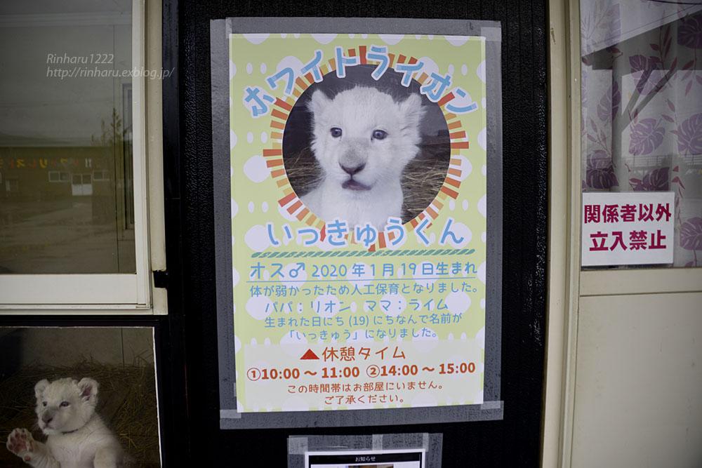 2020.3.8 東北サファリパーク☆ホワイトライオンのいっきゅう君【White lion baby】_f0250322_2321810.jpg