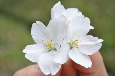 春をお届け💛_a0123836_11231071.jpg