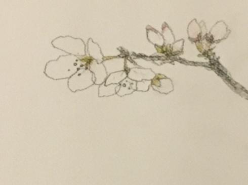 桜開花。_c0160745_22110157.jpeg