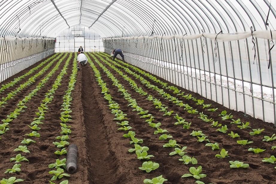 2020年3月14日(土)今朝の函館の天気と気温は。障がい者が育てた、障がい者が収穫した野菜をオンラインショップにて販売します。もう暫くお待ちください。障がい者社会復帰支援事業「晴れたらいいね」_b0106766_05572472.jpg
