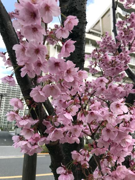 桜シーズン到来か?!_b0228966_15080673.jpg