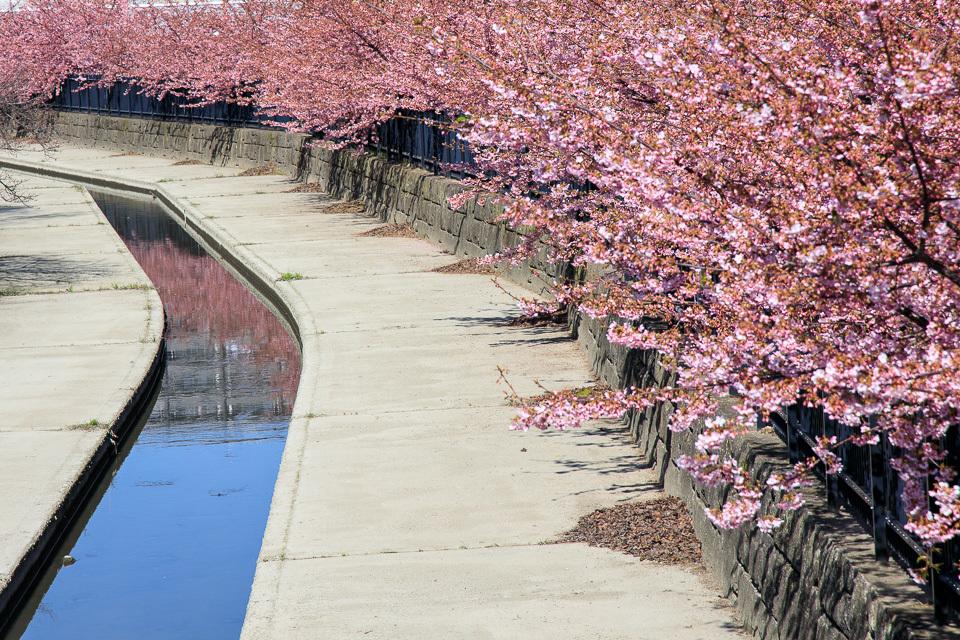 2020 桜!  ~河津桜 淀水路~_b0128581_21134705.jpg