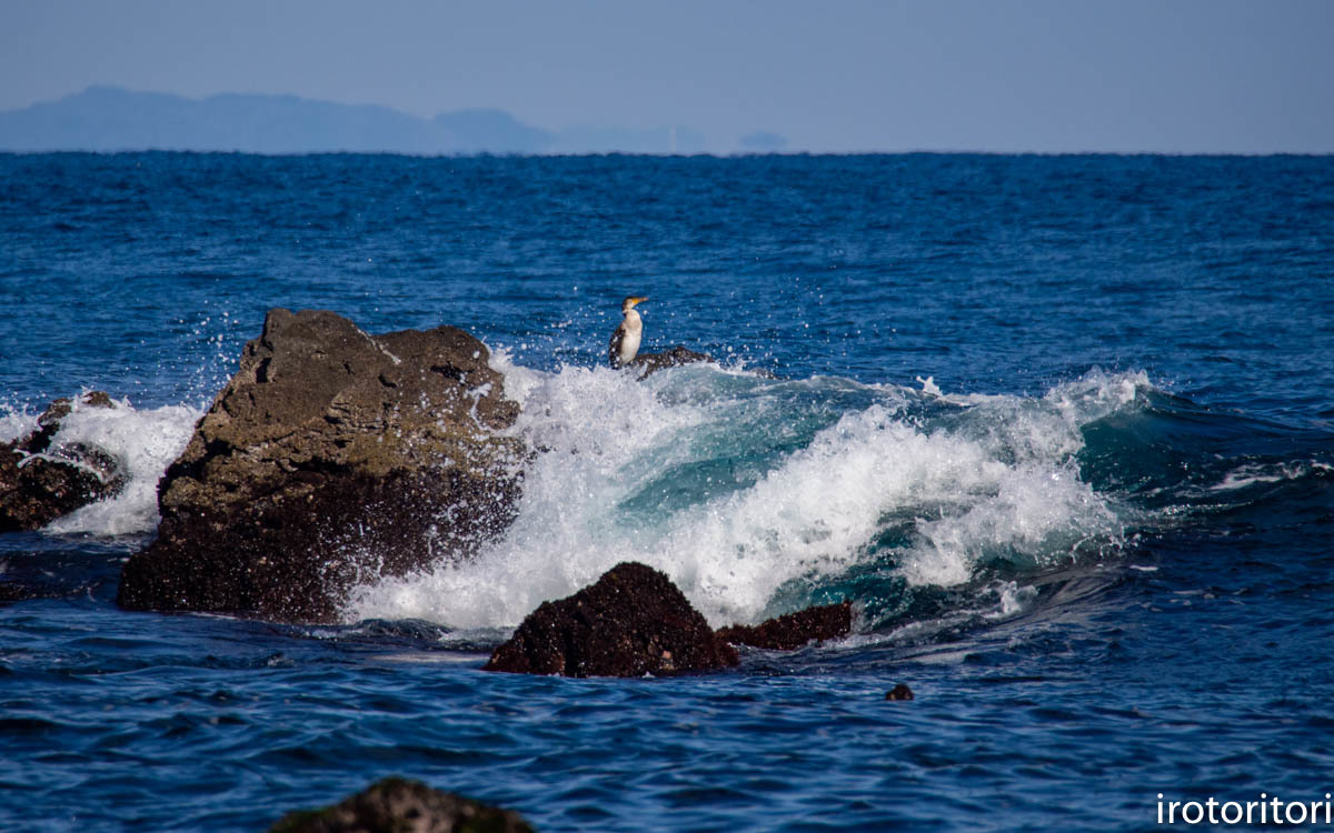 波と鳥 (カワウ他)  2020/03/12_d0146592_22525000.jpg