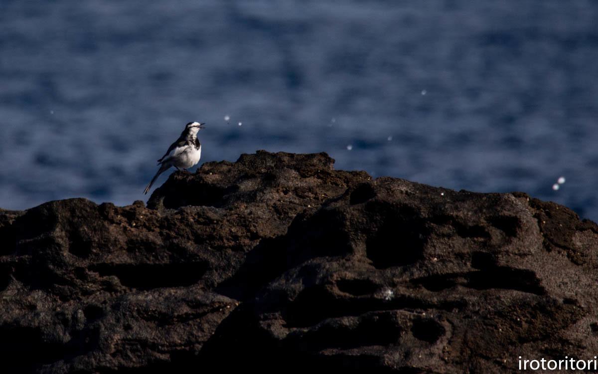 波と鳥 (カワウ他)  2020/03/12_d0146592_22551464.jpg