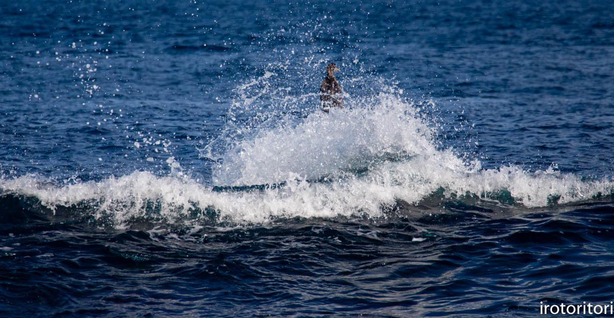 波と鳥 (カワウ他)  2020/03/12_d0146592_22564058.jpg