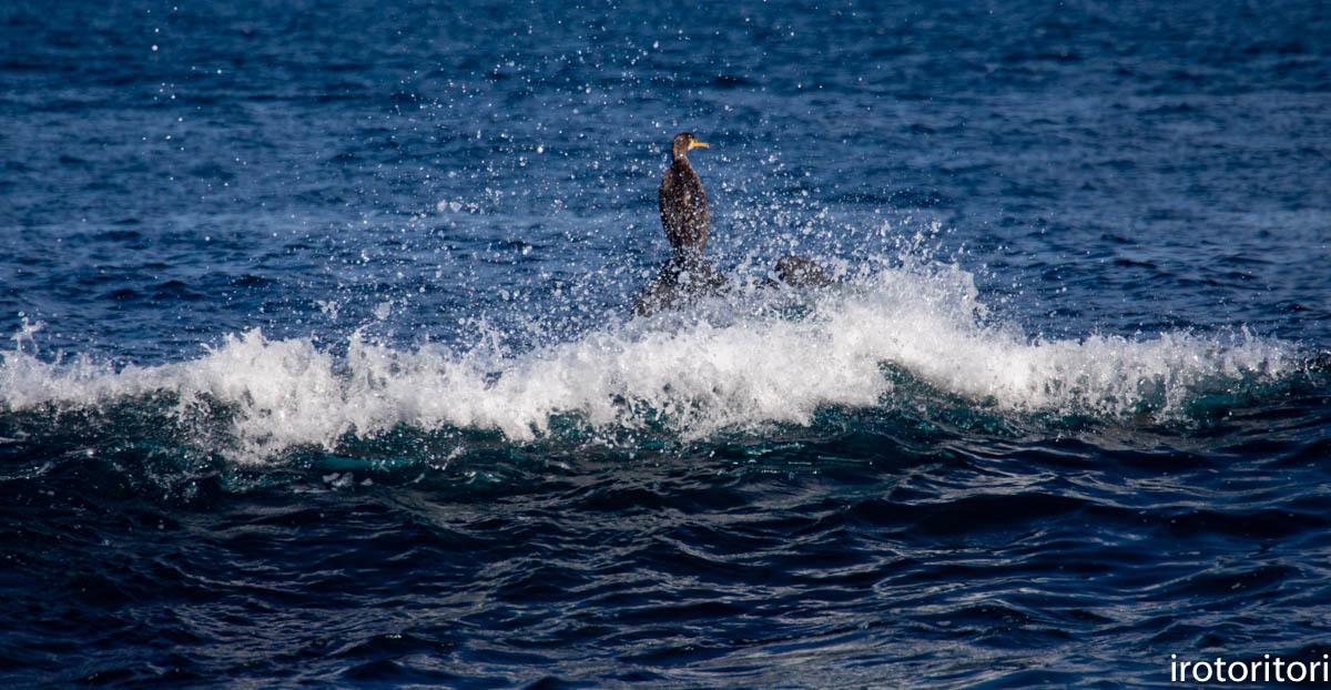 波と鳥 (カワウ他)  2020/03/12_d0146592_22564782.jpg