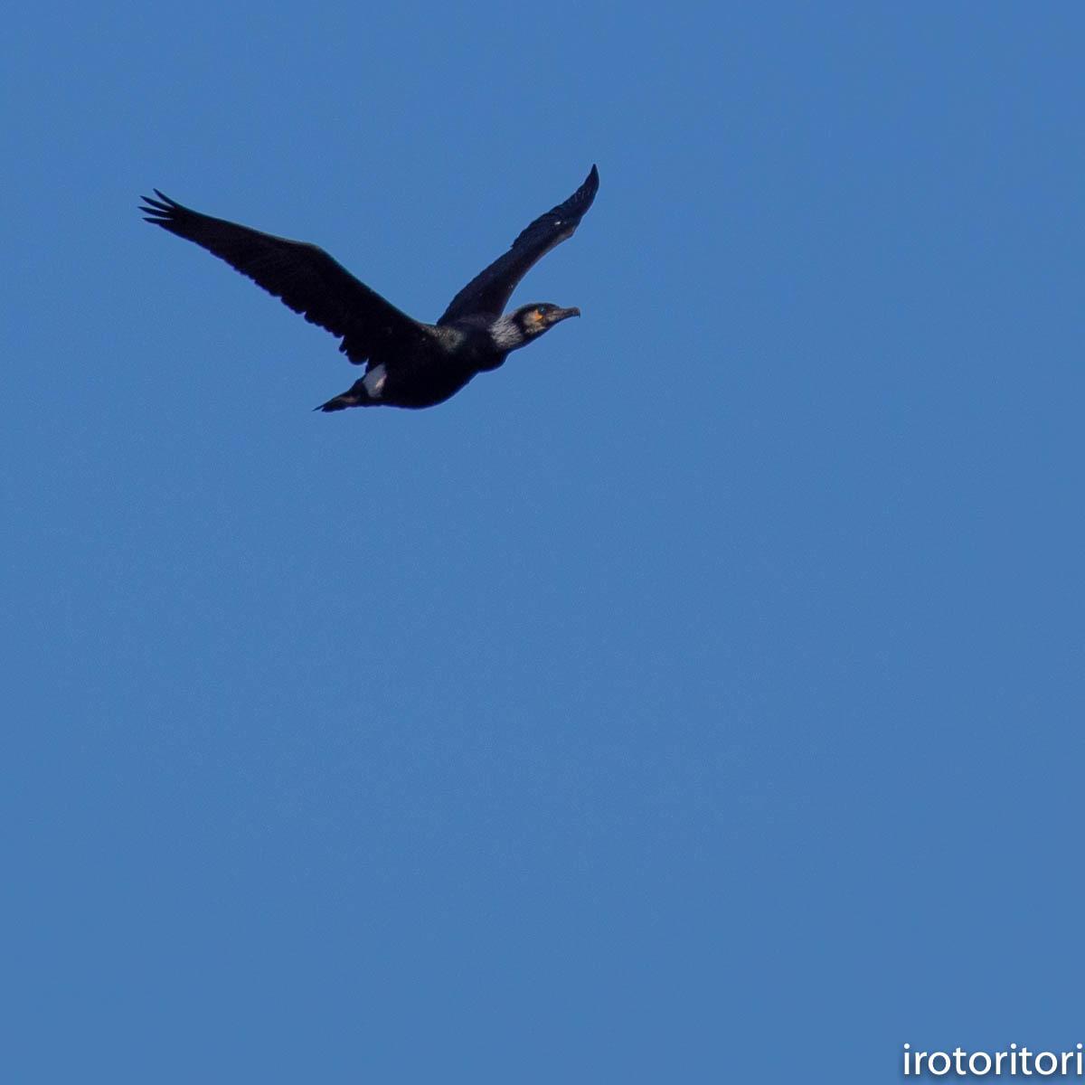 波と鳥 (カワウ他)  2020/03/12_d0146592_22565547.jpg