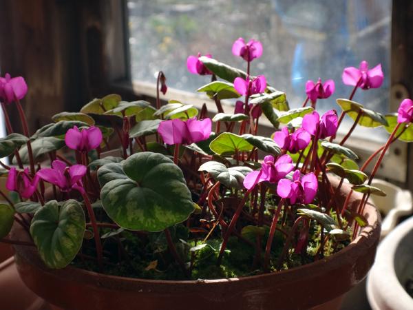 実生から育った原種シクラメンコウムと、咲き始めた福寿草、雪割草など♪_a0136293_16502676.jpg