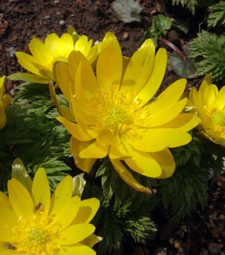実生から育った原種シクラメンコウムと、咲き始めた福寿草、雪割草など♪_a0136293_16553741.jpg