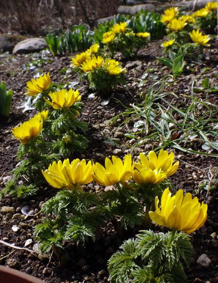 実生から育った原種シクラメンコウムと、咲き始めた福寿草、雪割草など♪_a0136293_16590921.jpg