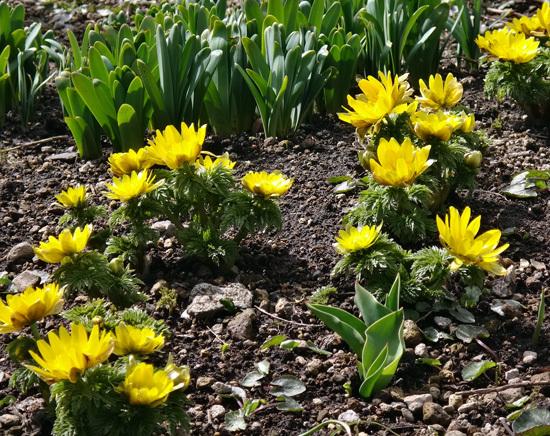 実生から育った原種シクラメンコウムと、咲き始めた福寿草、雪割草など♪_a0136293_17000290.jpg