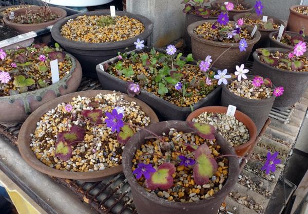 実生から育った原種シクラメンコウムと、咲き始めた福寿草、雪割草など♪_a0136293_17003935.jpg