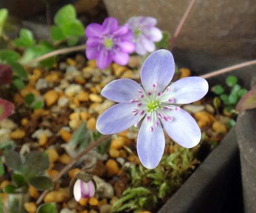 実生から育った原種シクラメンコウムと、咲き始めた福寿草、雪割草など♪_a0136293_17022937.jpg