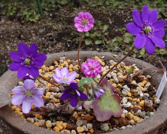 実生から育った原種シクラメンコウムと、咲き始めた福寿草、雪割草など♪_a0136293_17033194.jpg