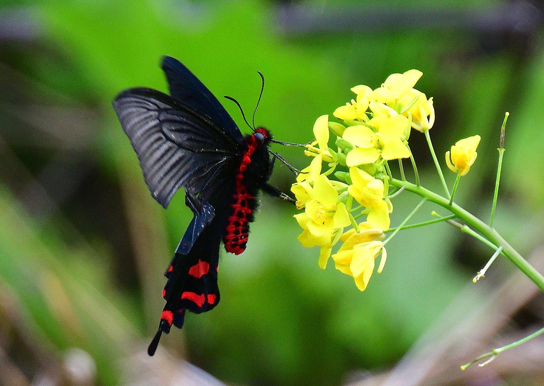 奄美大島:与路島の蝶々&旅行 ⑬_e0362696_15532720.jpg