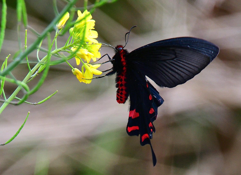 奄美大島:与路島の蝶々&旅行 ⑬_e0362696_15533565.jpg