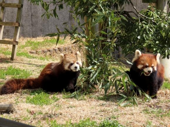 福知山市動物園の旅行記を姉妹ブログ「レッサーパンダ紀行」にアップしました_e0400609_21284239.jpg