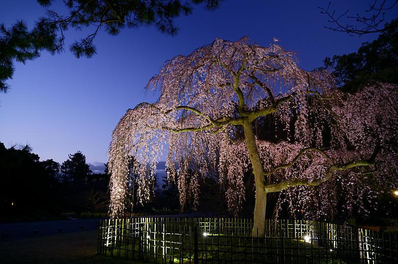 2020桜巡り@御所出水の桜 ライトアップ_f0032011_18293913.jpg