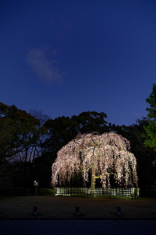 2020桜巡り@御所出水の桜 ライトアップ_f0032011_18293914.jpg