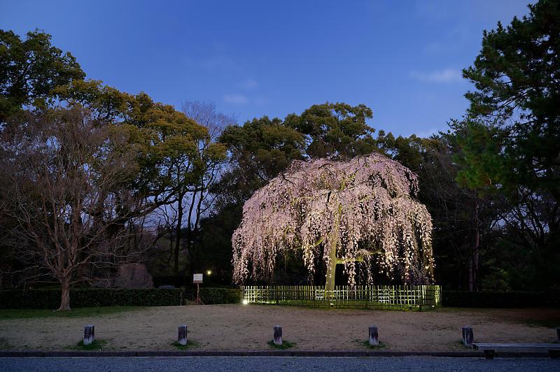 2020桜巡り@御所出水の桜 ライトアップ_f0032011_18293937.jpg
