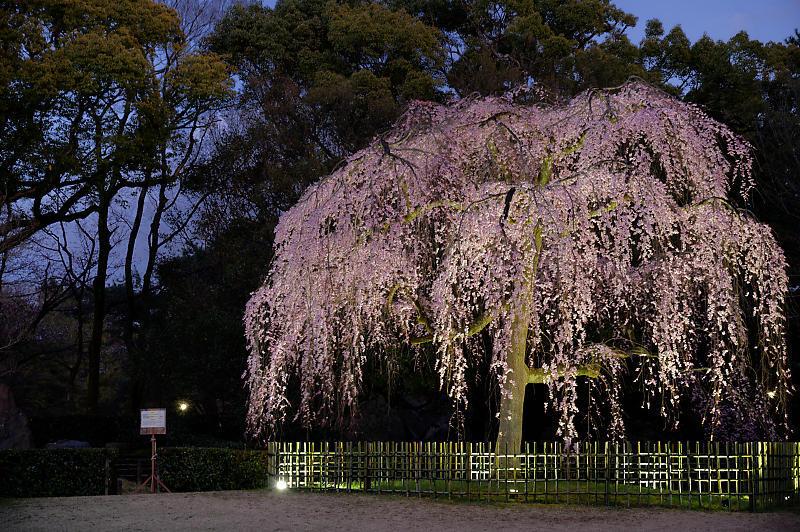 2020桜巡り@御所出水の桜 ライトアップ_f0032011_18293950.jpg