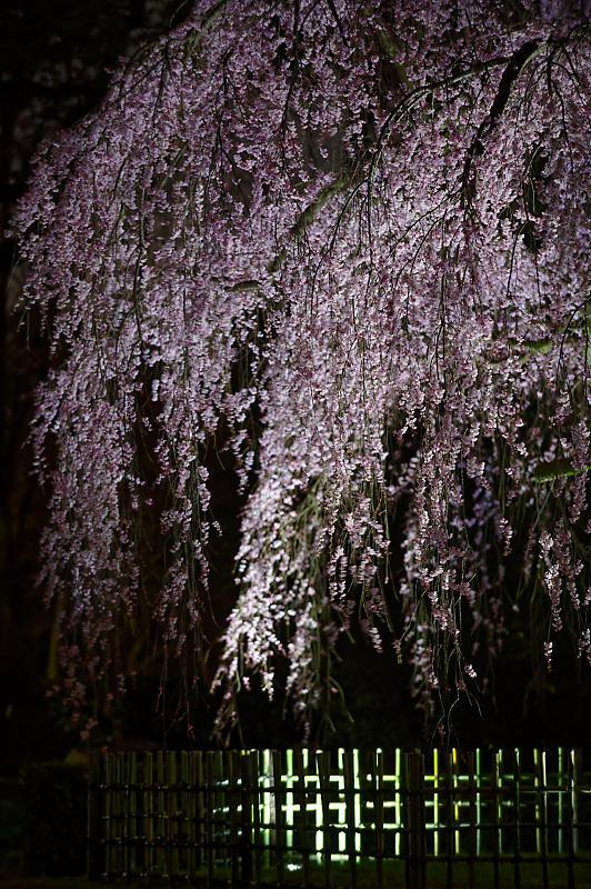 2020桜巡り@御所出水の桜 ライトアップ_f0032011_18294001.jpg