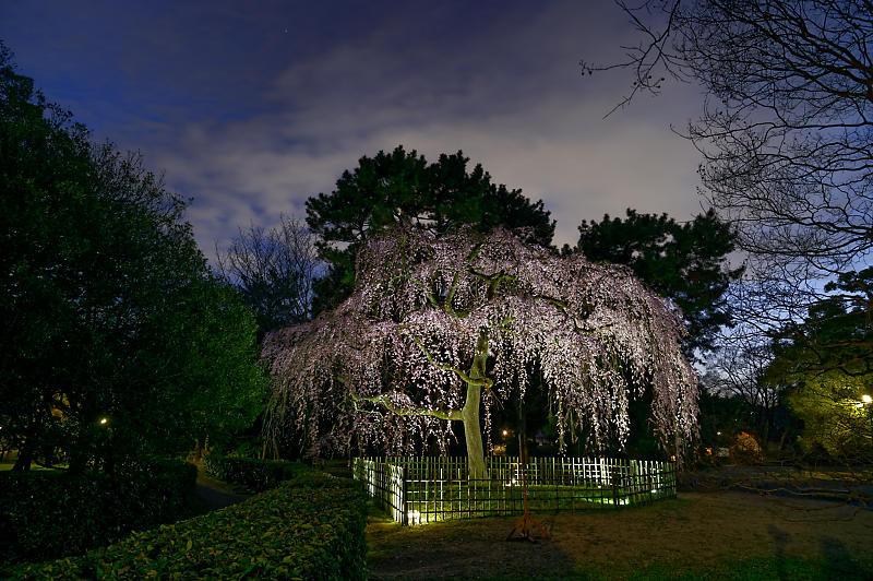 2020桜巡り@御所出水の桜 ライトアップ_f0032011_18294023.jpg