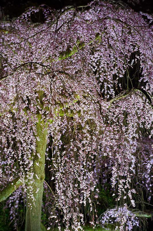 2020桜巡り@御所出水の桜 ライトアップ_f0032011_18533346.jpg
