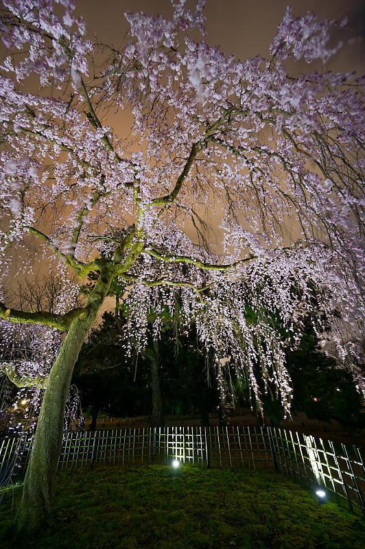 2020桜巡り@御所出水の桜 ライトアップ_f0032011_18534605.jpg