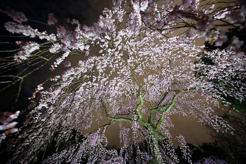 2020桜巡り@御所出水の桜 ライトアップ_f0032011_18534626.jpg