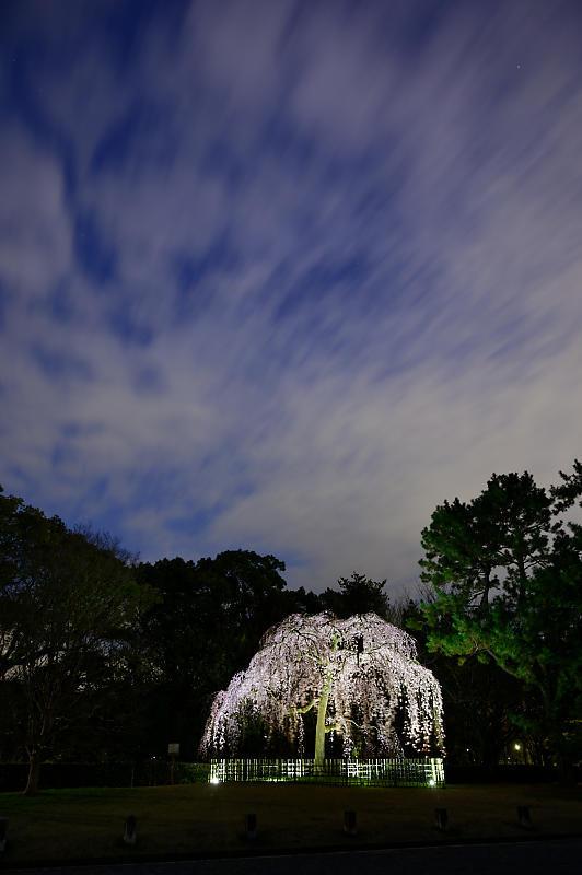 2020桜巡り@御所出水の桜 ライトアップ_f0032011_18534673.jpg