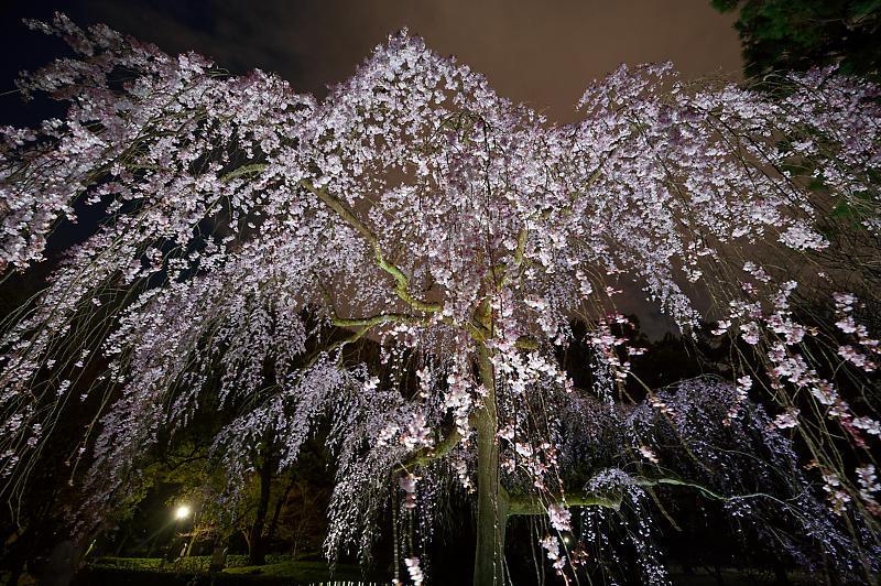 2020桜巡り@御所出水の桜 ライトアップ_f0032011_18534679.jpg