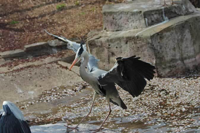 ペリカンの給餌と華麗なる略奪者アオサギ(多摩動物公園 April 2019)_b0355317_19434765.jpg