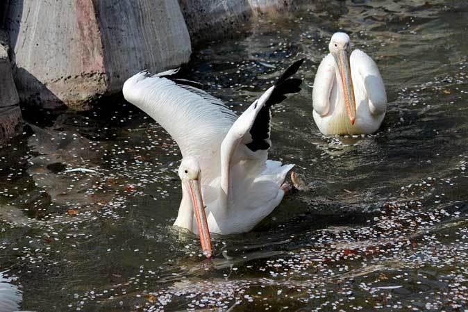 ペリカンの給餌と華麗なる略奪者アオサギ(多摩動物公園 April 2019)_b0355317_19470464.jpg