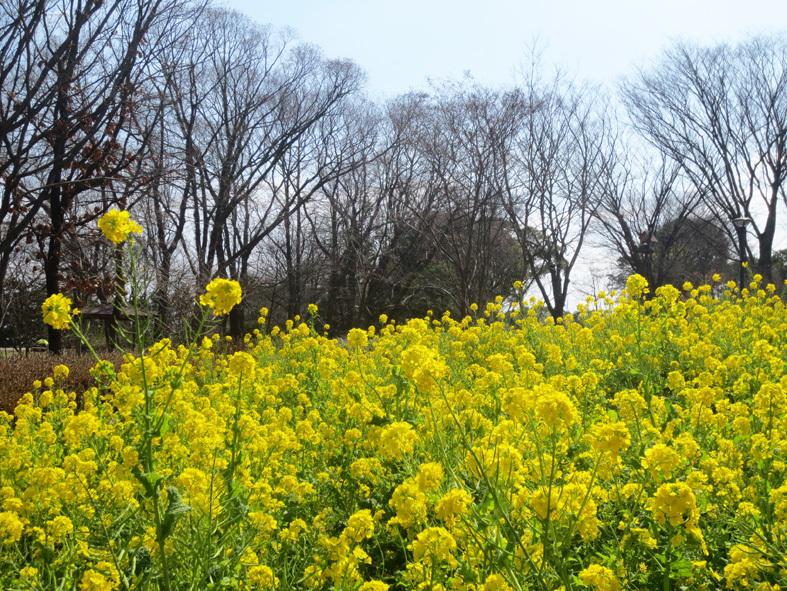 ■「一億総自粛」下の福岡市動植物園での花見、そして加藤典洋詩「パジャマと私」_d0190217_15470506.jpg