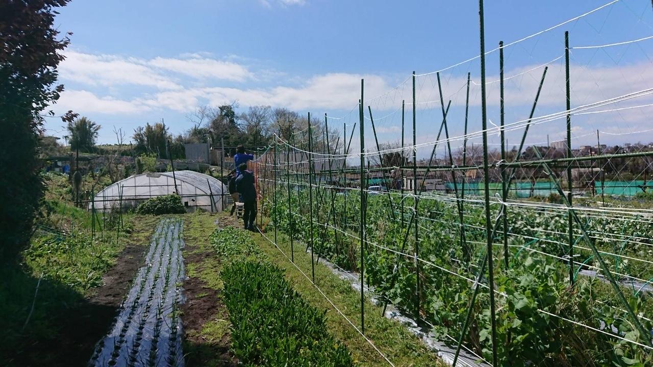 さあ じゃが芋の畝作りです 続いて 蚕豆 エンドウ豆の防鳥ネット張り始めます_c0222448_12591580.jpg