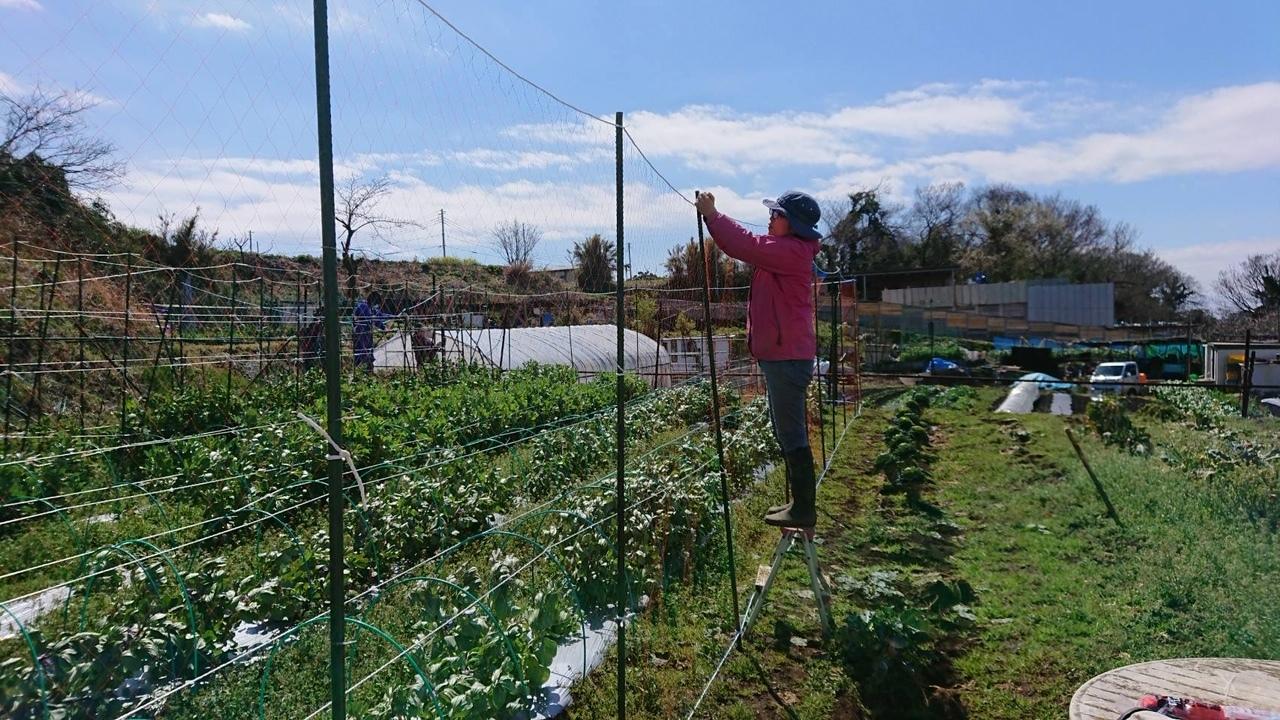 さあ じゃが芋の畝作りです 続いて 蚕豆 エンドウ豆の防鳥ネット張り始めます_c0222448_12592534.jpg