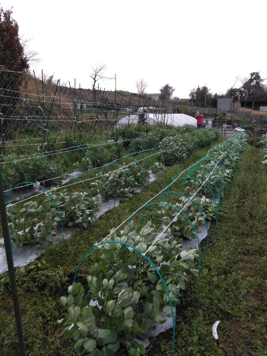 さあ じゃが芋の畝作りです 続いて 蚕豆 エンドウ豆の防鳥ネット張り始めます_c0222448_13015450.jpg
