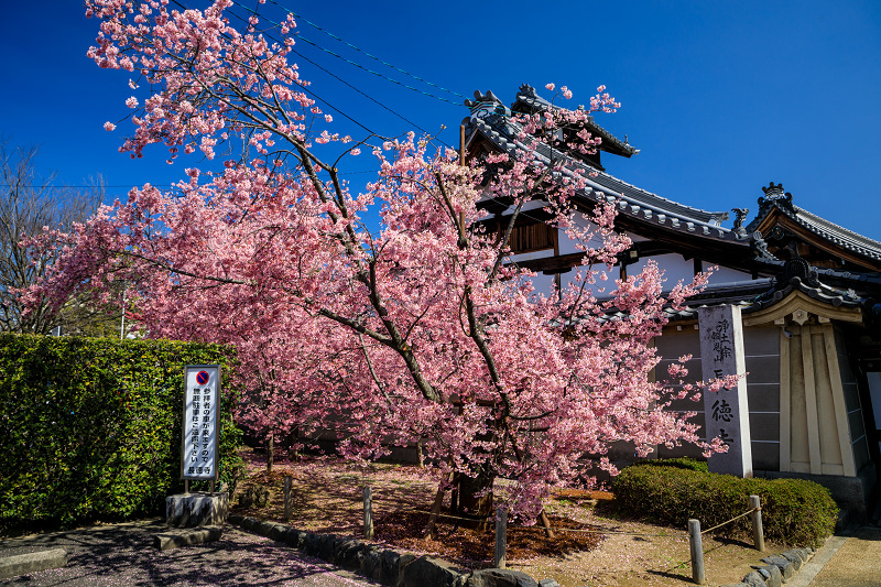 Prologue 2020桜咲く京都 長徳寺のオカメ桜_f0155048_0251486.jpg