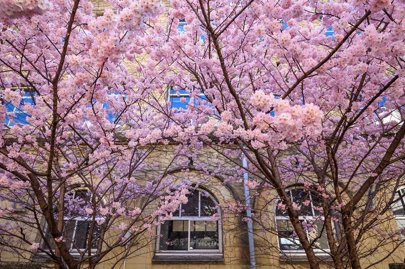 Prologue 2020桜咲く京都 春めき桜(旧成徳中学校)_f0155048_23564370.jpg
