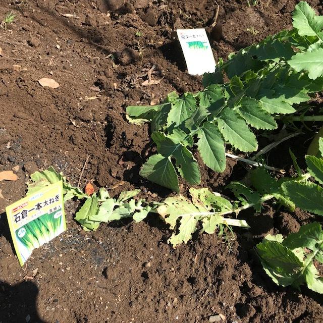 地這いキュウリ、トウモロコシ、ニンジン、ネギの種蒔き3・11_c0014967_11461005.jpg