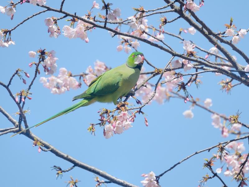 大寒桜とホンセイインコたち_a0204089_20473583.jpg