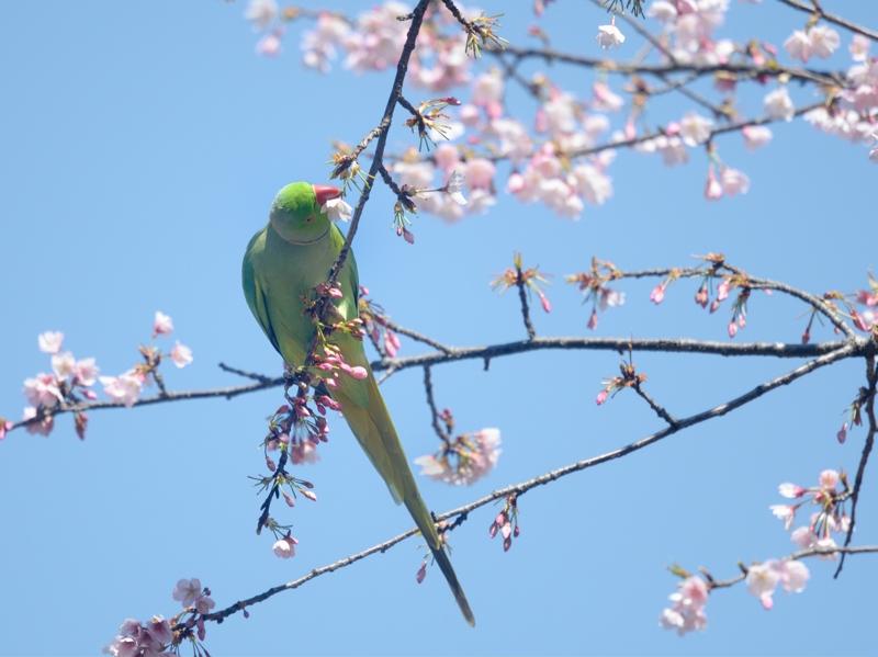 大寒桜とホンセイインコたち_a0204089_20475149.jpg