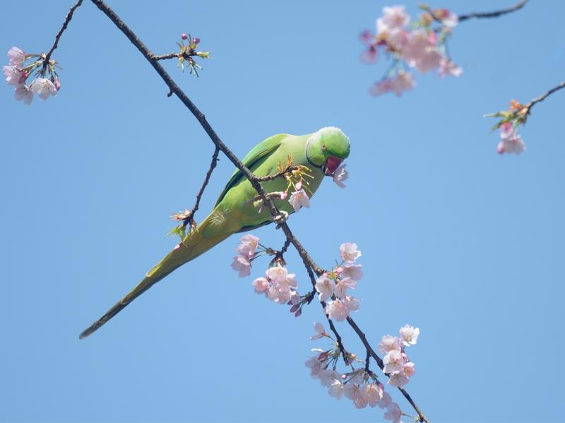 大寒桜とホンセイインコたち_a0204089_2048185.jpg