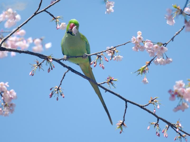 大寒桜とホンセイインコたち_a0204089_2048331.jpg